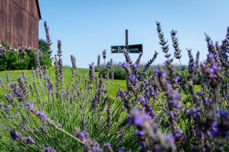 Apple Hill Lavender is a 45 acre apple and lavender farm in Norfolk County, Ontario, Canada