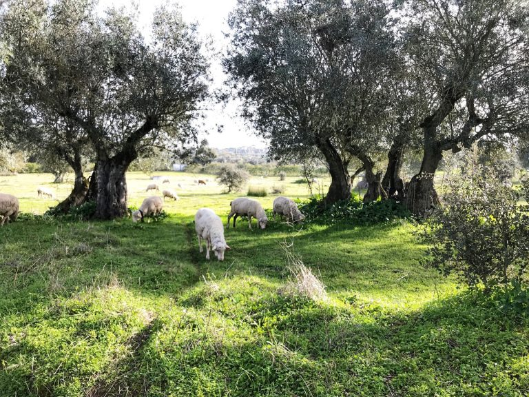 The Alentejo region of Portugal is often referred to as the new Tuscany. With its pastoral landscape, it includes endless olive trees, cork trees, vineyards and wheat fields.
